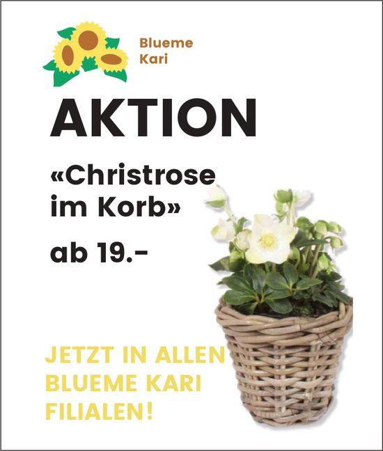 Blueme Kari - AKTION «Christrose im Korb» ab 19.--