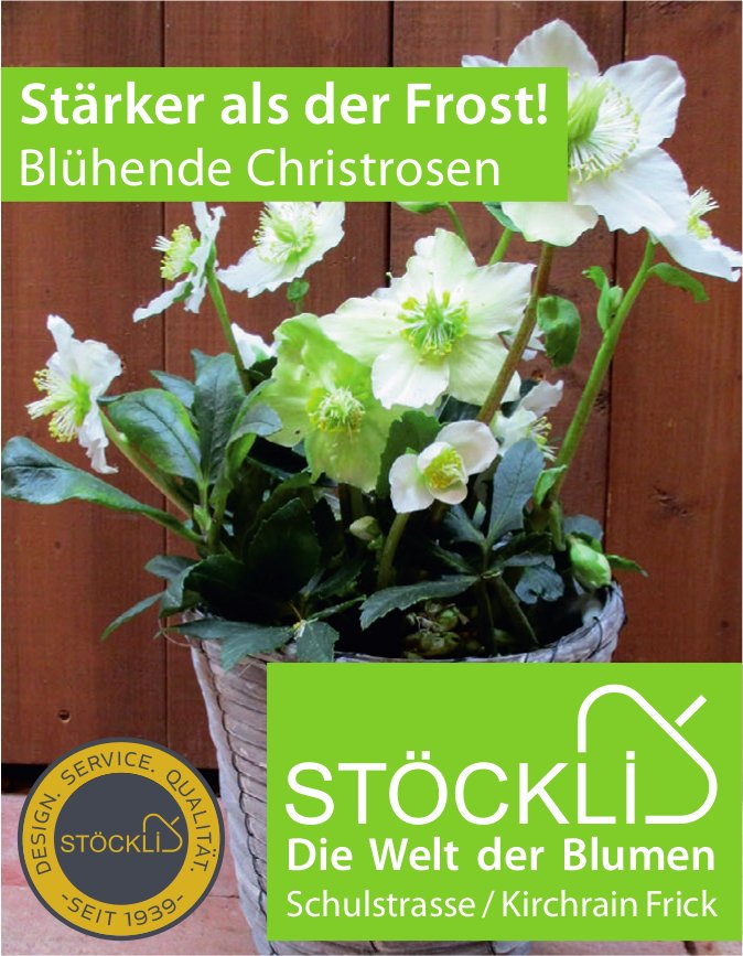 STÖCKLI, Die Welt der Blumen - Stärker als der Frost! Blühende Christrosen